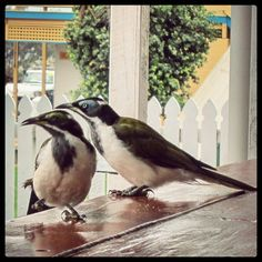 #OldPhotos #BirdsOfAFeather #Eurong #FraserIsland #Queensland #Australia #Y2011 Fraser Island Australia, Queensland Australia, Bird Feathers, Old Photos, Instagram Posts, Animals, Old Pictures, Animales, Animaux