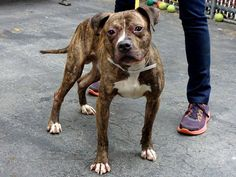 Lovables:  Manhattan Center    SHERMAN - A0992746   MALE, BROWN, PIT BULL MIX, 4 yrs  STRAY - 02/27/2014