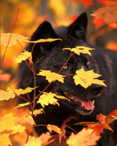 Black wolf in autumn forest by Greg Ledermann