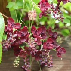 Pink Dogwood, Dogwood Trees, Brown Flowers, Pink Flowers, Cut Flowers, Creepers Plants, Climber Plants, Popular Tree, Privacy Plants