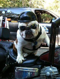 bulldog on motorcycle - Google Search