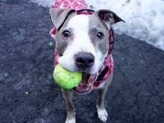 GENNADI - A1028639 - - Manhattan TO BE DESTROYED 4/27/15 A Volunteer Wrote: The world will never have enough dapper, distinguished older gentlemen in it, teaching the rest of us the meaning of elegance of spirit and kindness. Gennadi has been in the shelter since February, and he has borne it with such grace we are as stunned by that as by the fact that no one has swept in to swoop up this extraordinary pet–beautiful on a leash, a great playmate to people and dogs al