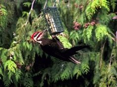 Heraldnet.com - Pileated Woodpecker's Presence A Treasure