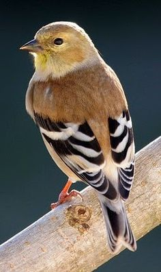 A close up Goldfinch