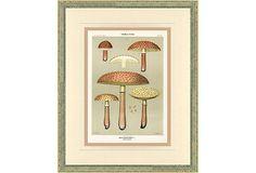 Mushroom   Print,  1895 on OneKingsLane.com