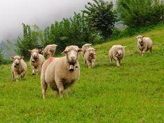 La leche de oveja es un alimento muy saludable, y de hecho, así lo recomiendan numerosos expertos de todo el mundo. Os contamos las ventajas de la leche.