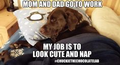My job is to look cute and nap | MOM AND DAD GO TO WORK #CHUCKIETHECHOCOLATELAB MY JOB IS TO LOOK CUTE AND NAP | image tagged in chuckie the chocolate lab,nap,dogs,memes,funny,job | made w/ Imgflip meme maker