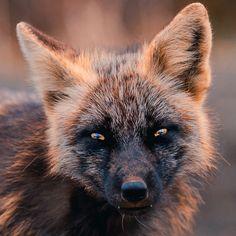 Melanism, The Encounter, Rare Animals, Strange Animals, Whitetail Bucks, Black Fire, Wild Creatures, Pet Rats, Killer Whales