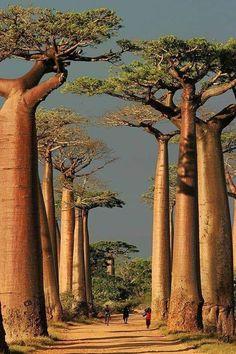 De Allée des baobabs is een groep baobabbomen (Adansonia grandidieri) die langs de Route nationale 8 tussen Morondava en Belon'i Tsiribihina staan, Madagaskar. Langs de weg staan over een afstand van 260 meter de resterende 20 à 25 baobabs, bomen van circa 30 meter hoog. In de nabije rijstvelden en weiden bevinden zich nog een 25-tal bomen. Yosemite Winter, Fairy Pools, Places To Travel, Places To See, Travel Destinations, Africa Destinations, Travel Trip, Maldives, Berchtesgaden National Park