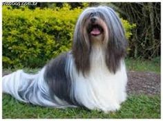 Resultado de imagem para lhasa preto Pet Breeds, Lhasa Apso, Long Hair Styles, Pets, Beauty, Animales, Animals And Pets, Long Hair Hairdos, Cosmetology
