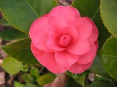 """This is the first Camellia of the year for John Salmon of Antioch. """"The color is so vivid and so beautiful as it was taken in the morning sunlight -- hopefully, many more will arrive this spring. Spring Colors, Spring Flowers, Wild Flowers, Welcome Spring, Camellia, Sunlight, Salmon, Rose, Garden"""