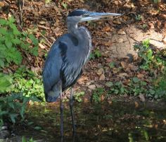 GBH in a Small Side Pocket   Endless Wildlife