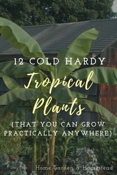 Grow cold hardy tropical plants as far north as New York! Incorporate these cold hardy tropical plants in your garden and enjoy the tropics in your backyard Tropical Backyard Landscaping, Tropical Patio, Backyard Plants, Outdoor Plants, Tropical Plants, Tropical Garden Design, Tropical Gardens, Outdoor Spaces, Tropical Front Doors