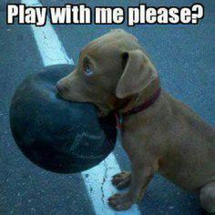Pittbull puppy