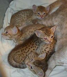 Catiators Ocicats Ocicat, Catus, Cat Breeds, Kittens, Babies, Pictures, Animals, Cute Kittens, Photos