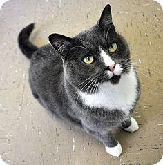 Fort Leavenworth, KS - Domestic Shorthair. Meet Rhea-URGENT!, a cat for adoption. http://www.adoptapet.com/pet/11524435-fort-leavenworth-kansas-cat