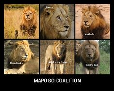 The short story of Mighty Mapogos Lion Coalition We all know mapogos coalition of six male lions. They first appear in March Name of the six lions form Mapogos coalition are- Dreadlocks Makulu P Wild Lion, Lion Love, Lion Pride, Tribe Of Judah, Black Lion, Lion Of Judah, Wild Creatures, Cat Boarding, Hyena