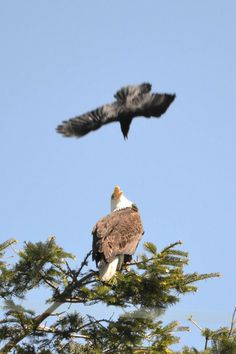 Turf war between eagles and crows in NE Tacoma - courtesy @KING 5 viewer 'Raelys'