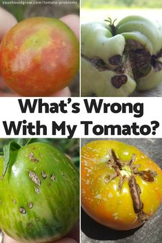Problems: What's Wrong With My Tomato? Find out what causes blemished tomatoes with this complete list of tomato problems. Find out what causes blemished tomatoes with this complete list of tomato problems. Tips For Growing Tomatoes, Growing Tomato Plants, Growing Tomatoes In Containers, Growing Veggies, Grow Tomatoes, Baby Tomatoes, Home Vegetable Garden, Tomato Garden, Garden Tomatoes