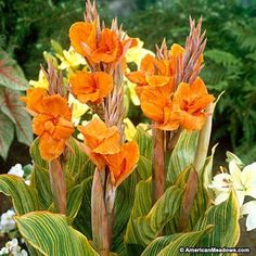 Choose from a huge selection of top quality Canna Lily Bulbs at the lowest prices anywhere. All Canna Lily Bulbs from Eden Brothers are currently on sale at up to regular retail price. Canna Lily, Canna Flower, Bulb Flowers, Large Flowers, Exotic Flowers, Beautiful Flowers, Strange Flowers, Yellow Flowers, Tropical Landscaping