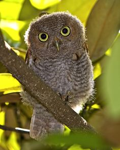 An immature Eastern Screech Owl (Grey Phase) perched in a magnolia tree.  Brookgreen Gardens, Murrels Inlet, South Carolina
