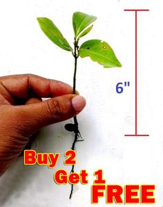 Ceylon Cinnamon 2 live plants for garden from Sri Lanka  No chemical used plants