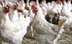 Antibiotici e pollo: in Italia ridotto l'uso dei farmaci nell'allevamento dei polli Si parla molto della presenza di antibiotici nel pollo ma in realtà nel 2015 il consumo totale di an pollo antibiotici allevamento salute