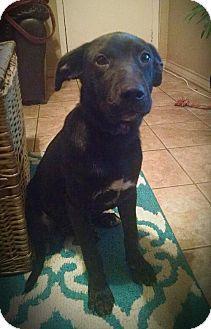 Missouri City, TX - Labrador Retriever Mix. Meet Bowser, a puppy for adoption. http://www.adoptapet.com/pet/11647687-missouri-city-texas-labrador-retriever-mix