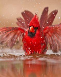 Splish splash, little redbird...