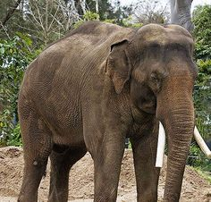 Animal Heros: Ningnong The Elephant  ... from PetsLady.com ... The FUN site for Animal Lovers