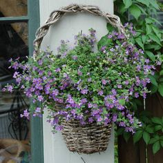 Hanging basket with purple bacopa, via About.com