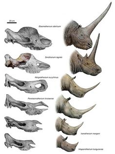 A Tandem-Horned Rhino From the Late Miocene Of Northwestern China Reveals Origin of the Unicorn Elasmothere----Institute of Vertebrate Paleontology and Paleoanthropology, Chinese Academy of Sciences