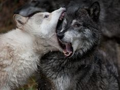 Challenge for control of the wolf pack: a very large juvenile male (white) challenges the alpha male (gray) for control of the wolf pack. Although a formidable challenger, the alpha prevailed... for now, 2012 - by Cesar Aristeiguieta, USA
