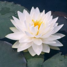 Water lily Get detailed growing information on this plant and hundreds more in BHG's Plant Encyclopedia.
