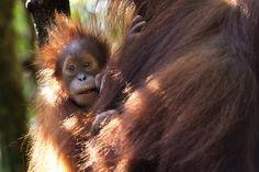 Baby orangutan in Bukit Lawang from our Sumatran Orangutan Society (SOS) project. Photo by Gita Defoe for Photographers Without Borders. Sumatran Orangutan, Baby Orangutan, Without Borders, The Fragile, Monkeys, Animal Pictures, Habitats, Storytelling, Photographers