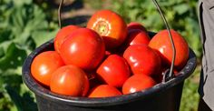 Secrete de știut despre cultivarea roșiilor | Paradis Verde