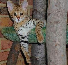 #savannah #cat Savannah cat Savannah kitten #savannah #kitten #savannahcat