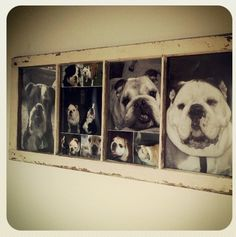 Old window with my bulldog pictures.