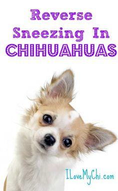 Effective Potty Training Chihuahua Consistency Is Key Ideas. Brilliant Potty Training Chihuahua Consistency Is Key Ideas. Chihuahua Facts, Puppy Facts, Chihuahua Love, Chihuahua Breeds, Dog Breeds, Long Hair Chihuahua, Long Haired Chihuahua Puppies, Pomeranian Puppy, Pet Puppy