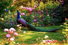 The peacock (also known as peafowl) is a medium sized bird most closely related to the pheasant. Pretty Birds, Beautiful Birds, Beautiful World, Animals Beautiful, Garden Wallpaper, Peacock Pictures, Peacock Images, Peafowl, Wonderful Picture