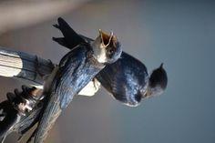 Swallows