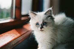 white ragdoll kitten...I WANT!
