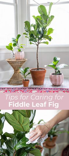 5 Tips for Caring for Fiddle Leaf Figs – A Beautiful Mess