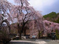 真田氏歴史館から、歩いて長谷寺に来ました。死ぬかと思った! でも長谷寺の枝垂れ桜が見られたので疲れ吹っ飛びました!