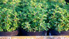 8 temperos para plantar em casa