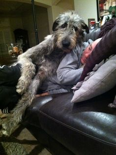 An Irish Wolfhound and a cat cuddling while sleeping. >>> For more information on taking care of pet dogs, visit image link.
