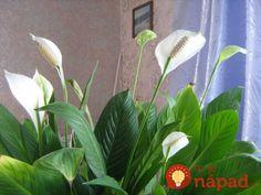 Túto rastlinu by vraj mala maž v dome každý žena: Nerobte túto častú chybu a vydrží vám krásna celé roky! Deco, Diy And Crafts, Flora, Home And Garden, Plants, Gardens, Garden Deco, Decoration, Deko