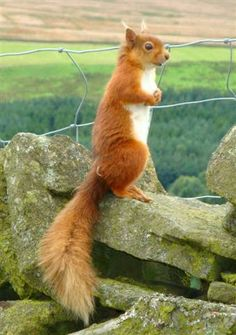 'Ey up! Red Squirrels in #Britain are an endangered species. But you can spot them on the trail & viewing area at Snaizeholme, Widdale in the  #Yorkshire_Dales, #England.