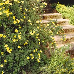 Potentilla does best in full sun and can be planted on slopes.  Flowers bloom over a long period of time from late spring to autumn. When the leaves drop in fall, a reddish peeling bark is revealed.