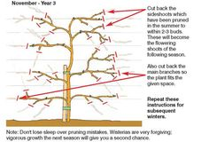 pruning wisteria - this is one of four great diagrams on this page.  Everything you need to know about planting, growing and pruning wisteria!